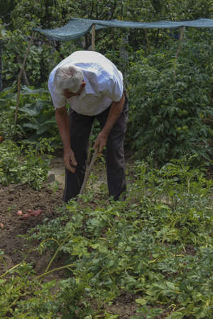 red skinned: Man Digging Potatoes in the garden. Potatoes is red skinned.