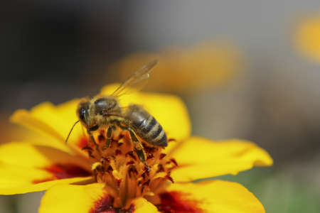 Honeybee Collecting Pollen from Marigold (Tagetes) Flower.