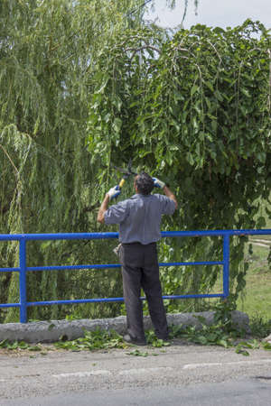 A worker trimming a tree with a Clippers, hazardous branches of trees that occupy roadside property and which threatening the drivers visibility. Photo taken of work actually being performed. photo
