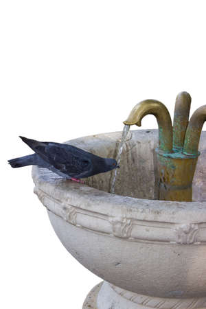 Pigeon drinking water from a fountain, isolated on white photo