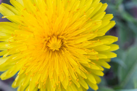 weber: Yellow dandelion flower background. Taraxacum officinale weber, top view. Selective focus and shallow dof.