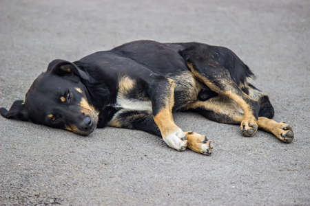 Dog resting on the pavement in hot weather. Selective focus.
