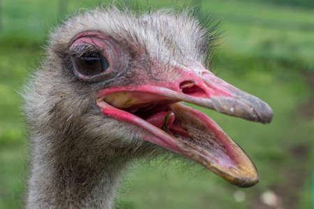beak: Close Up ostrich head with beak open Stock Photo