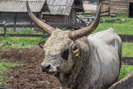 bos: Podolian bull with big horns at the farm, bos primigenius bojenus. Focus on bull head. Stock Photo