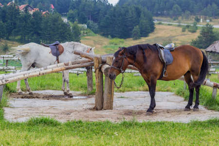 Chichibio cuoco e la gru 41825316-cavalli-sellati-con-le-trecce-pronti-per-l-equitazione-equitazione-per-i-turisti-sul-monte-zlatibor-