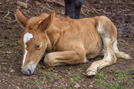 inseparable: Foal sleeping and secure under his mom leg. The bond between a foal and its mother is extremely strong and in the early weeks after the foal's birth they are inseparable.