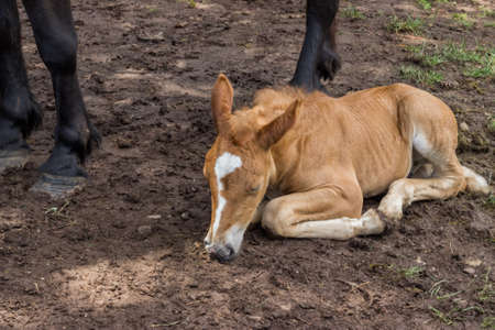 inseparable: Foal sleeping and secure under his mom legs. The bond between a foal and its mother is extremely strong and in the early weeks after the foal's birth they are inseparable.