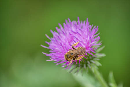 arvense: Honey bee on creeping thistle (cirsium arvense) purple flower. Selective focus and motion blur.