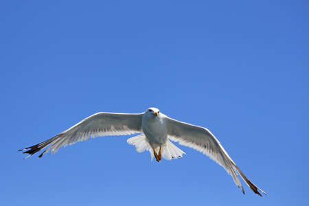 wingspread: Seagull wingspread against clear sky. Larus argentatus in flight. Selective focus and shallow dof.