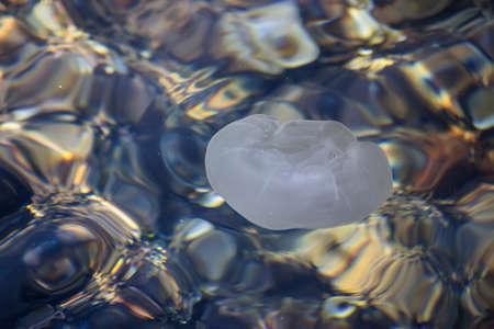 sea water: Aurelia aurita, moon jellyfish floats on the surface of the sea water.