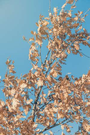 Eichenzweige mit gelben Blätter im Herbst gegen den blauen Himmel. Hergestellt mit selektiven Fokus und Vintage-Stil. Standard-Bild - 51012433