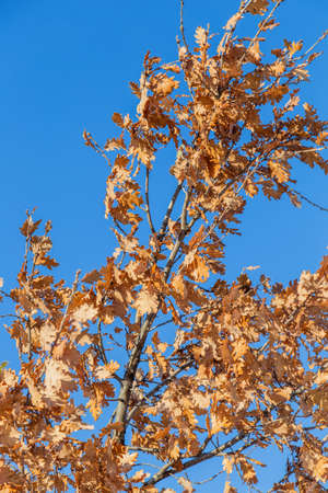 Eichenzweige mit gelben Blätter im Herbst gegen den blauen Himmel. Hergestellt mit selektiven Fokus. Standard-Bild - 51012434