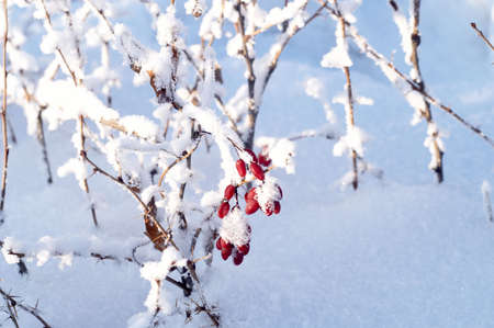 barberry: Winter barberry Stock Photo