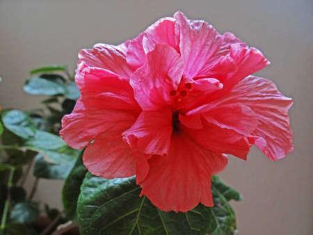 stamin: Hibiscus