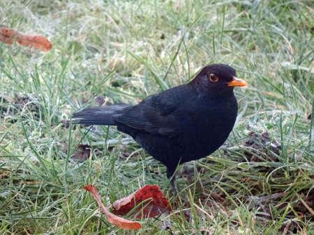 blackbird: blackbird on icy meadow                               Stock Photo