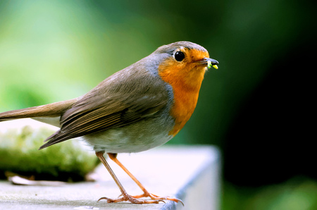 red robin eating green worm