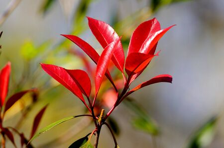 photinia serrulata, red shiny leaves of a photenia in spring Stock Photo
