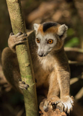 Crowned lemur is looking Stock Photo