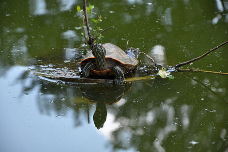 Marsh turtle photo