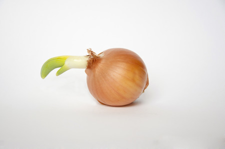 sprouted: Sprouted bulb on a white background