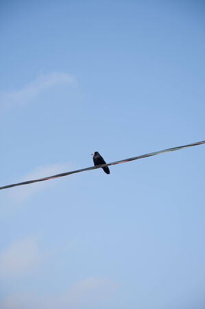 Raven sat on the wires against the blue sky