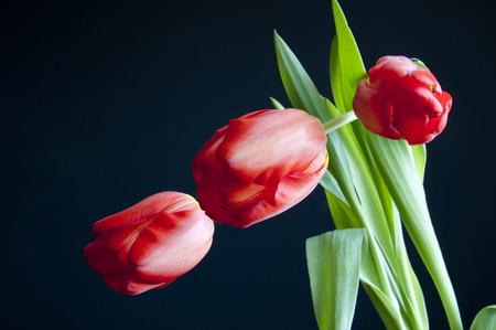 three tulips on the black photo