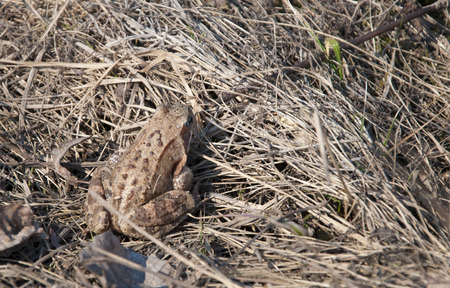 concealment: brown frog sitting on a dry grass