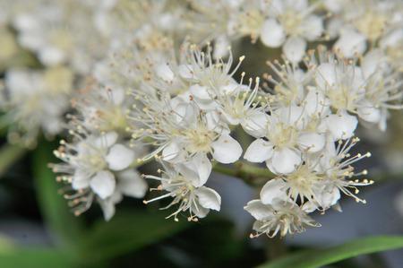 sorb: blossoming branch of rowan extra closeup Stock Photo