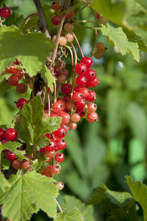 ripen: ripen on the bush redcurrant closeup