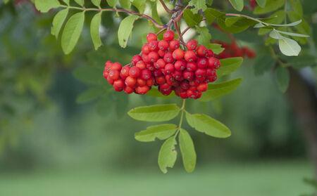 rowanberry: rowanberry on the green background close up