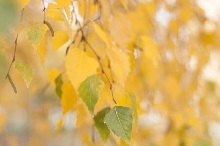 the branch of a birch tree on a blurred background