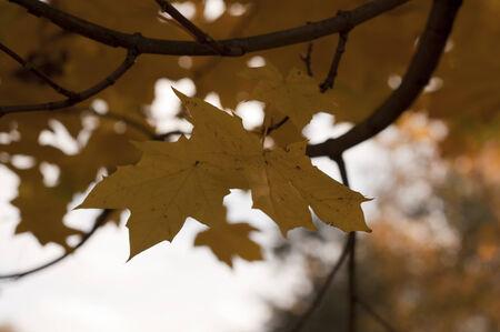 yellom maple leaves Zdjęcie Seryjne