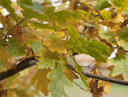 oak leaves close up