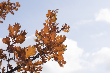 the branch of an oak tree with yellow leaves against the blue sky Zdjęcie Seryjne