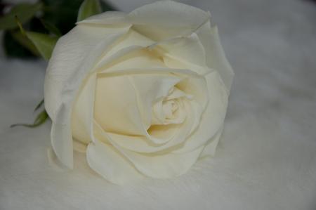 white rose on the light background