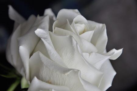 white rose on the black background Zdjęcie Seryjne