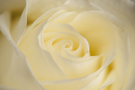 fondle: white rose close up