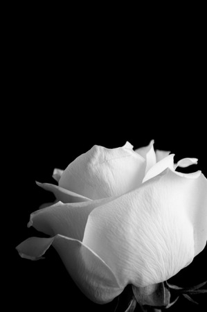 white rose on the black background Archivio Fotografico