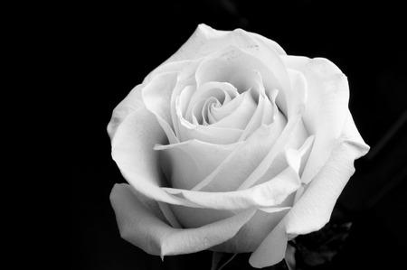 flowers black background: white rose on the black background Stock Photo
