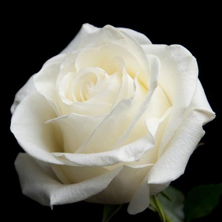 witte roos op de zwarte achtergrond