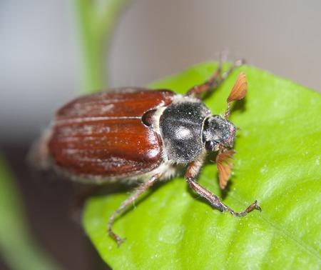 cokcchafer on the green leaf Zdjęcie Seryjne