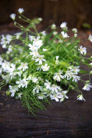 Bouquet of wild chamomile in the natural environment