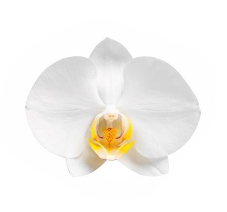 orchids: bianca orchidea con fiori e boccioli di luce