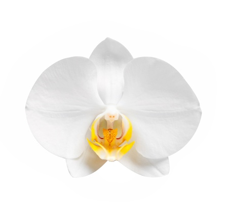 white orchid wiht  blossoms and buds over light photo