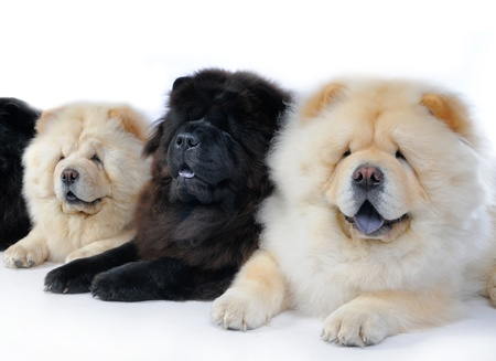 chow: three dogs breed chow-chow on a white background