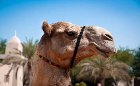 head of a camel on the background of  oasis photo
