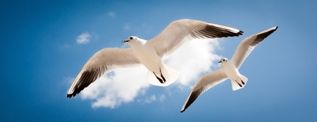 gaviota: dos gaviotas están volando sobre el cielo azul