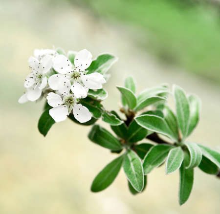 apple flowers over natural background photo