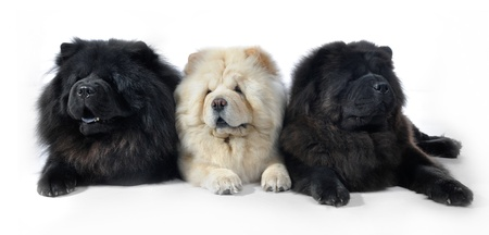 Three Chow-Chow in studio on white background photo