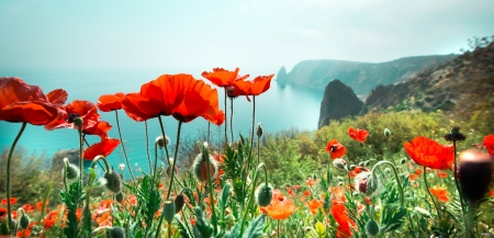 opium poppy: meadow with red poppy flowers against sky and sea